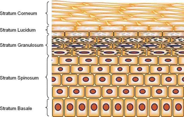 Diagram of the skin epidermal layers. At the top facing outside is the Stratum Corneum, second the thin Startum Lucidum, third the Stratum Granulosum, fourth the think Stratum Spinosum, and finally the Stratum Basale.
