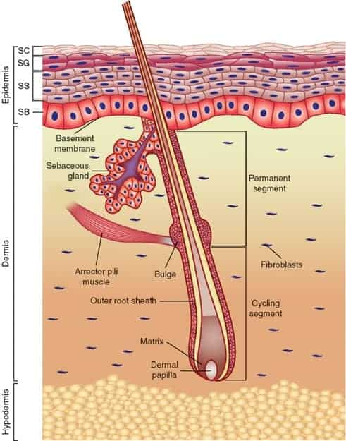 Detailed diagram of a hair follicle. The dermal papilla is at the bottom of the bulb, then the hair matrix. The outer root sheath surrounds the hair shaft (hair fibres) and the bulge sits a small way up the outer root sheath next to the Arrector pili muscle which makes your hair stand up and causes sebum to exit the sebum gland.