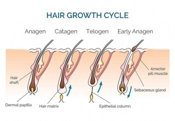 Illustration of human hair in the 3 growth stages, 1 Anagen growth stage, 2 Catagen growth stops and follicle and hair retract, 3 Telogen follicle inactivity and hair falls out, back to early Anagen where the follicle connects to the dermla papilla again and hair grows.