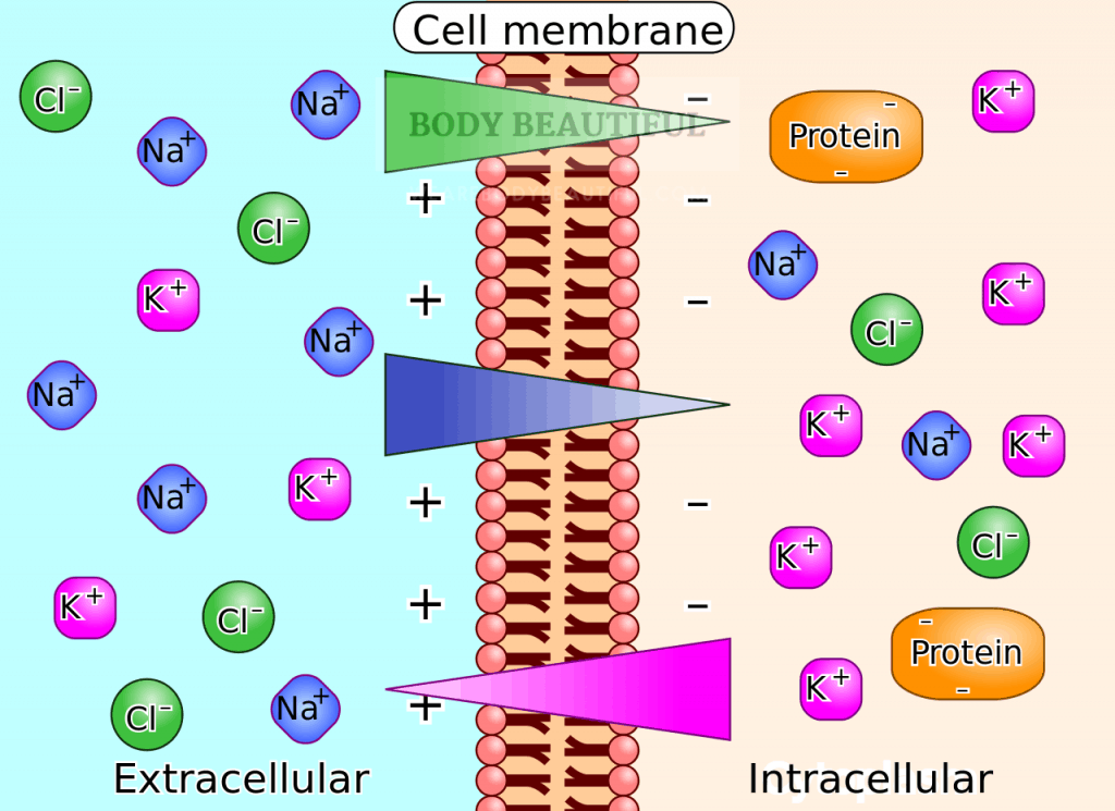 Diagram showing the cell membrane with different concentration of the charged ions chlorine, sodium and potassium in and out of the cell creating a bioelecrtric potential.