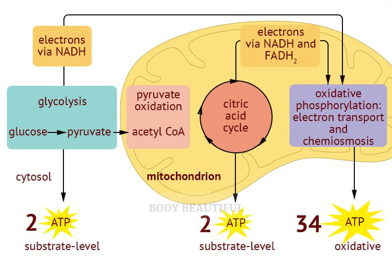 A simple diagram showing the 4 stages of mitochonrial respiration with how many ATP molecules are output at each stage.
