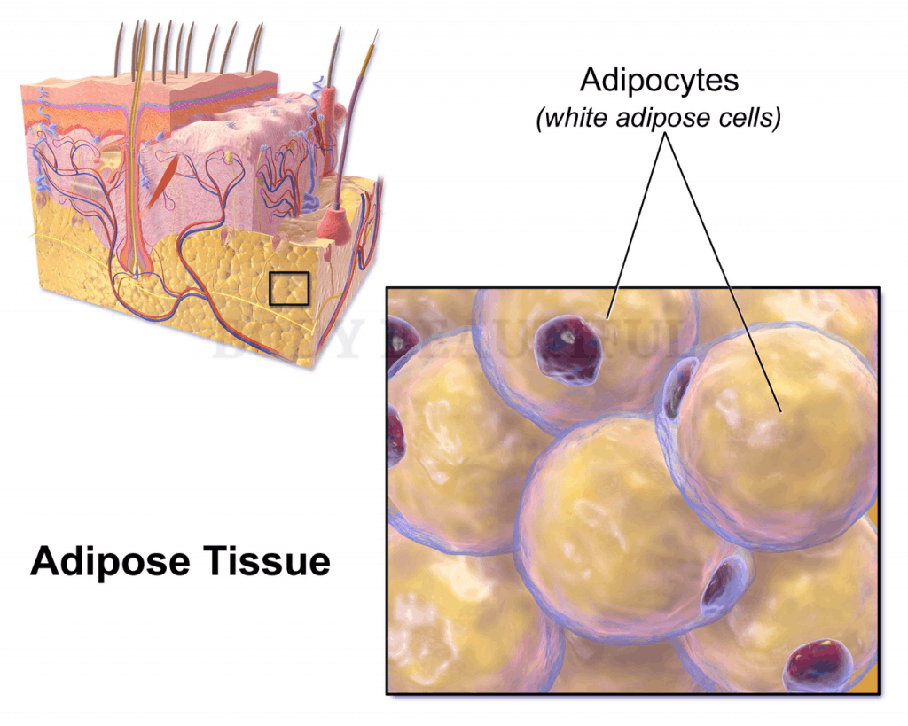 diagram of white fat cells