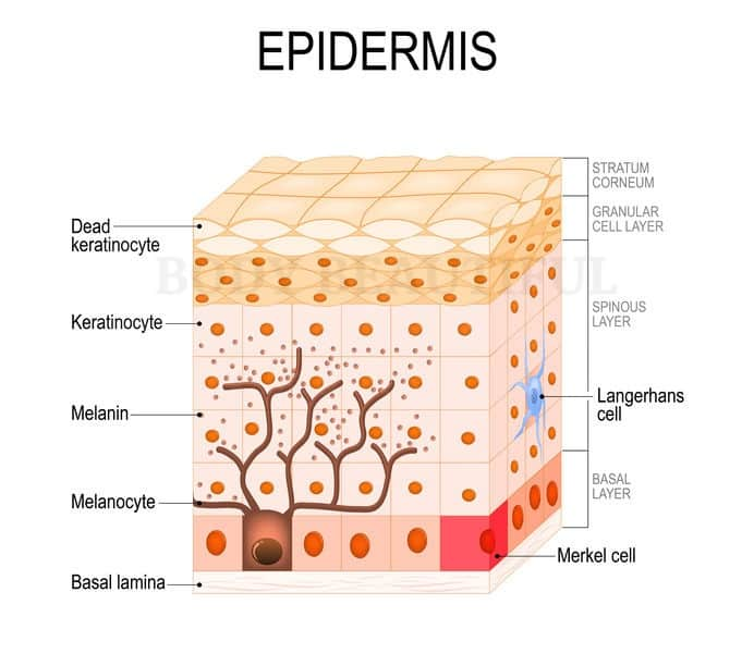 Cross section diagram of human skin layers with the dry, stratum corneum on the outside