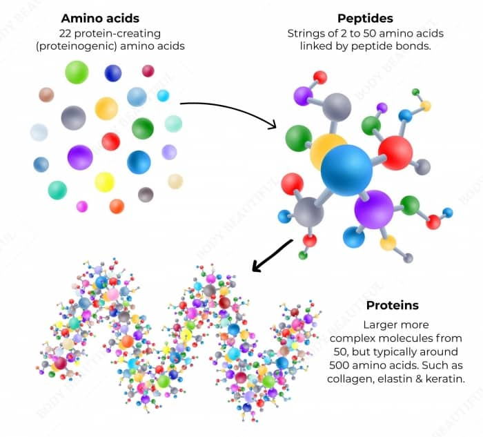 There are 22 protein creating amino acids. Strings of 2 to 50 amino acids linked by peptide bonds are called Peptides. Proteins are larger and more complex molecules made from 50 but typically 500 amino acids.