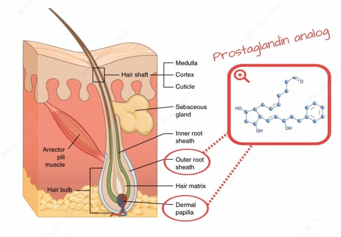 Prostaglandin analogs affecting hair growth bind to receptors in your hair follicle primarily the dermal papilla and outer root sheath.